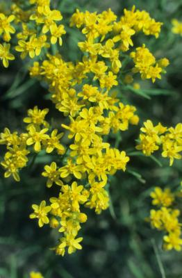 Gutierrezia sarothrae (Broomweed), inflorescence, flower, full