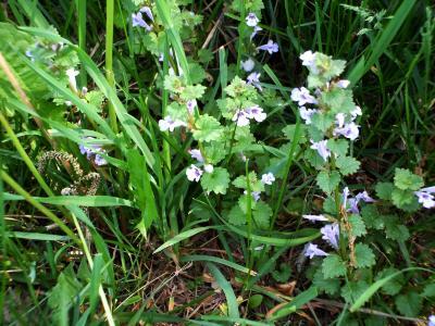 Glechoma hederacea (ground ivy), Habit, spring