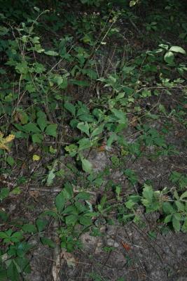 Geum canadense (white avens), habit, summer