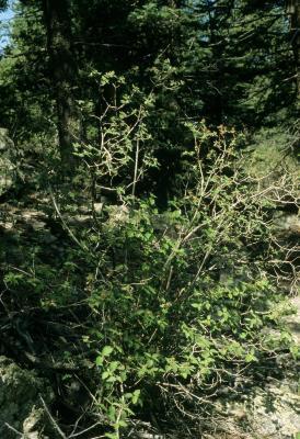 Jamesia americana (Cliff Bush), habit, summer