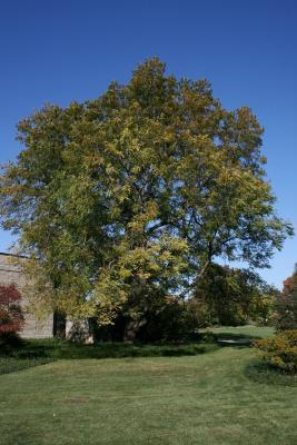 Gymnocladus dioicus (Kentucky Coffeetree), habit, fall