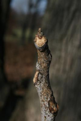 Gymnocladus dioicus (Kentucky Coffeetree), bud, terminal