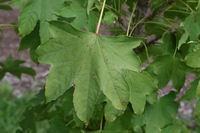 Kalopanax septemlobus (Castor-aralia), leaves, upper surface