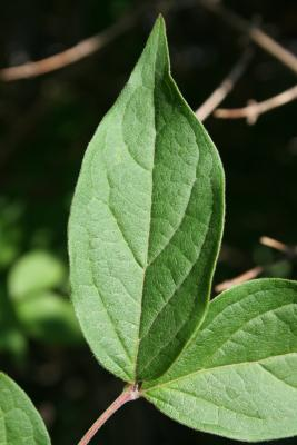 Kolkwitzia amabilis (Beauty Bush), leaves, upper surface