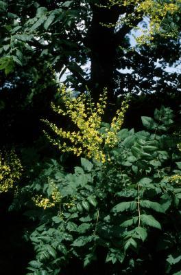 Koelreuteria paniculata (Golden Rain Tree), inflorescence