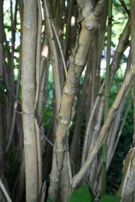 Kolkwitzia amabilis (Beauty Bush), bark, mature