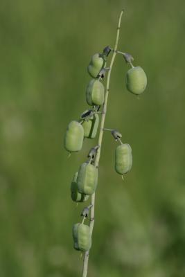 Baptisia alba var. macrophylla (White Wild Indigo), fruit, mature