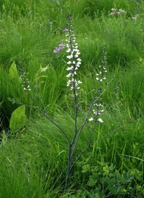 Baptisia alba var. macrophylla (White Wild Indigo), habit, spring