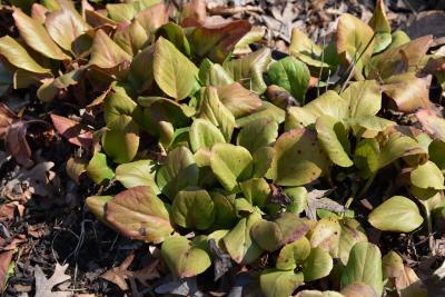 Bergenia pacifica (Ussuri Bergenia), habit, winter