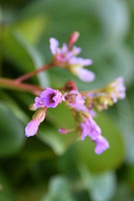 Bergenia pacifica (Ussuri Bergenia), flower, full