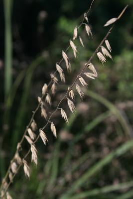 Bouteloua curtipendula (Side-oats Grama Grass), habit, summer