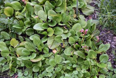 Bergenia pacifica (Ussuri Bergenia), habit, summer