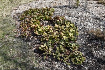 Bergenia pacifica (Ussuri Bergenia), habit, spring