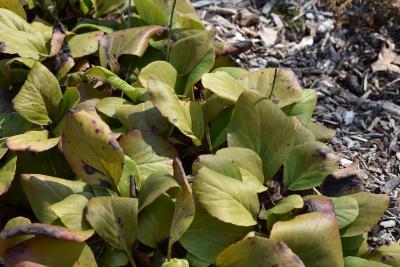 Bergenia pacifica (Ussuri Bergenia), leaf, winter