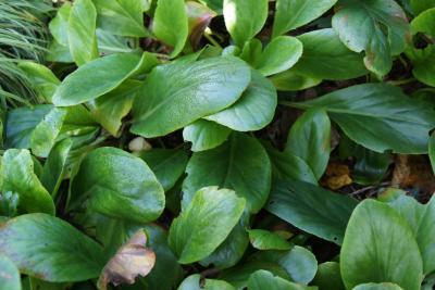 Bergenia 'Silberlicht' (Silver Light Bergenia), leaf, summer