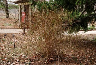 Berberis thunbergii (Japanese Barberry), habit, spring