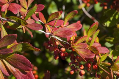 Berberis koreana (Korean barberry), leaf, fall