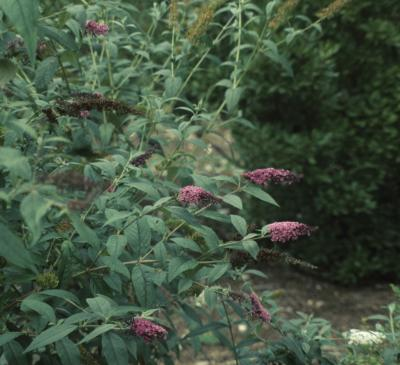 Buddleja davidii 'Ile de France' (Ile De France Butterfly Bush), habit, summer