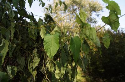 Brunnichia cirrhosa (Buckwheat-vine), leaf, fall