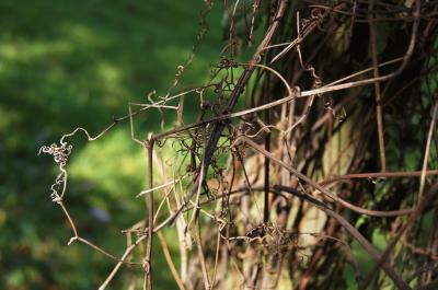 Brunnichia cirrhosa (Buckwheat-vine), tendril
