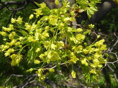 Acer (platanoides x truncatum) (Norway-Shantung Hybrid Maple), flower, full