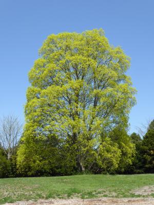 Acer (platanoides x truncatum) (Norway-Shantung Hybrid Maple), habit, spring