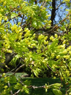 Acer (platanoides x truncatum) (Norway-Shantung Hybrid Maple), inflorescence