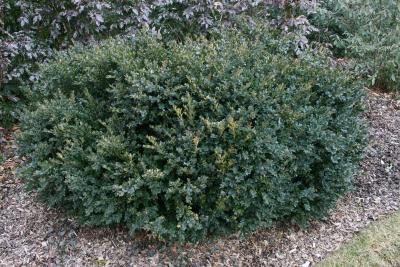 Buxus sempervirens 'Vardar Valley' (Vardar Valley Common Boxwood), habit, winter