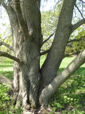 Acer (platanoides x truncatum) (Norway-Shantung Hybrid Maple), bark, trunk