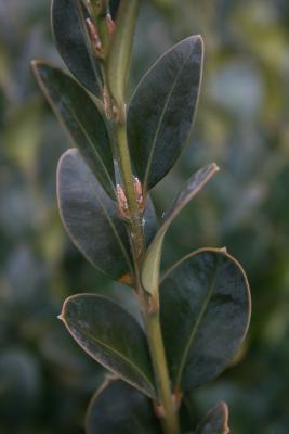 Buxus sempervirens 'Vardar Valley' (Vardar Valley Common Boxwood), bud, lateral