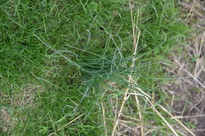 Allium vineale (Wild Garlic), habit, spring, leaf