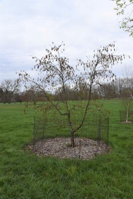 Betula schmidtii (Schmidt's Birch), habit, spring