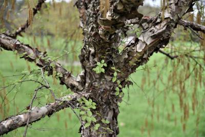 Betula davurica (Dahurian Birch), bark trunk, bark, branch