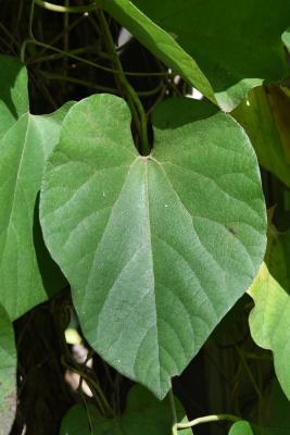 Aristolochia tomentosa (Wooly Dutchman's Pipe), leaf, fall