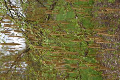 Betula davurica (Dahurian Birch), inflorescence
