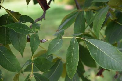 Carya (Hickory), leaf, fall
