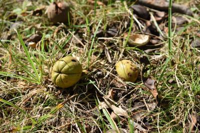 Carya (Hickory), fruit, mature