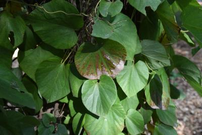 Aristolochia tomentosa (Wooly Dutchman's Pipe), leaves, upper surface