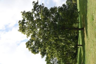 Carya (Hickory), habit, fall