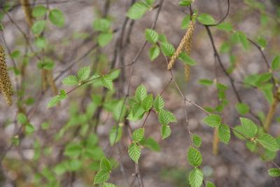 Betula davurica (Dahurian Birch), leaf, new
