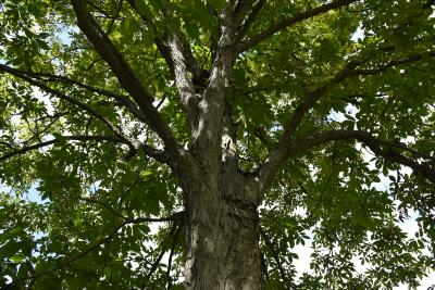 Carya (Hickory), bark mature