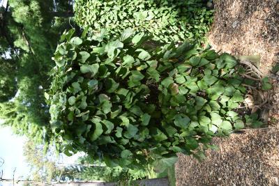 Aristolochia tomentosa (Wooly Dutchman's Pipe), habit, fall