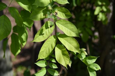 Wisteria sinensis (Chinese Wisteria), leaf, fall