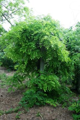 Wisteria floribunda (Japanese Wisteria), habit, spring