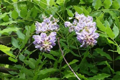 Wisteria floribunda (Japanese Wisteria), inflorescence