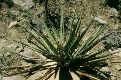 Yucca baccata (banana yucca), habit, summer