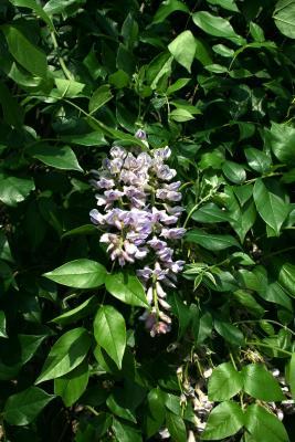 Wisteria frutescens (American Wisteria), inflorescence