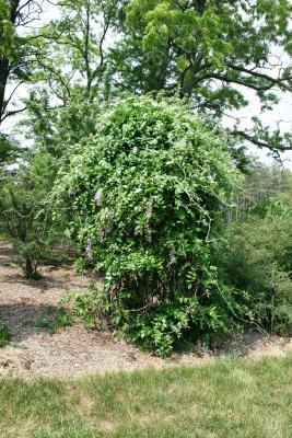 Wisteria frutescens (American Wisteria), habit, spring