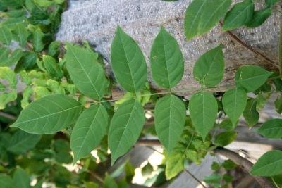 Wisteria sinensis (Chinese Wisteria), leaf, upper surface