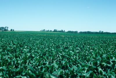 Zea mays (Corn), habitat
